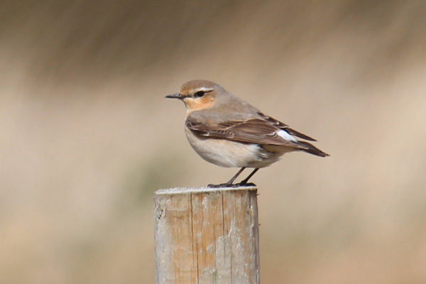 Look out for wheatear and pipits on open ground on route