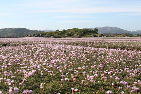 Sea Pinks at Kentra