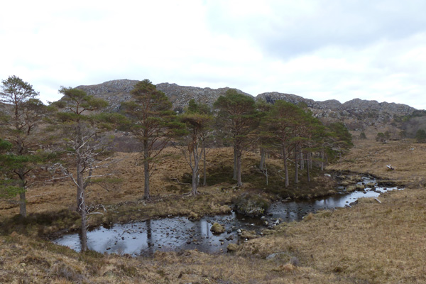 Scots pine by the outlet of Loch a Bhada Dharaich
