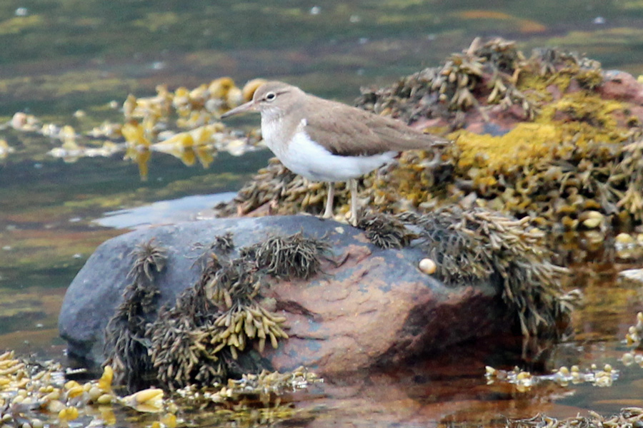 Look out for sandpipers on the loch edges