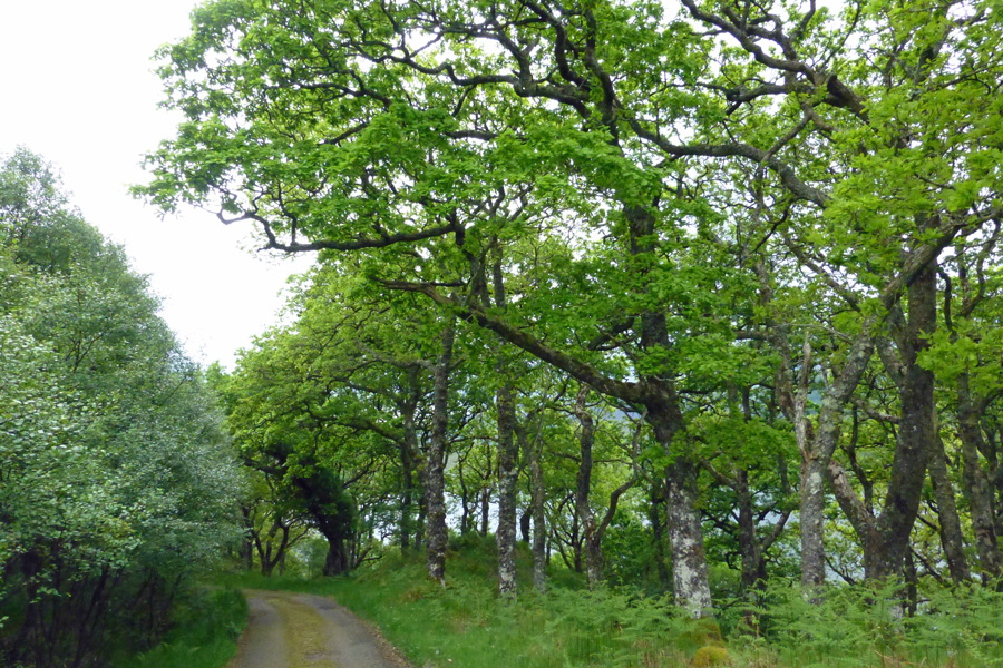 The private road passes through some ancient Atlantic oak woodland