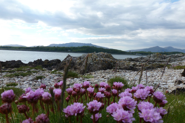 Shingle beach with thrift (Armeria maritima) in foreground