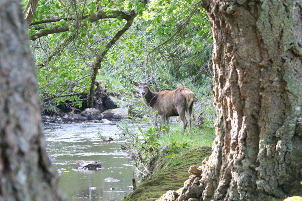 Red deer on the River Shiel