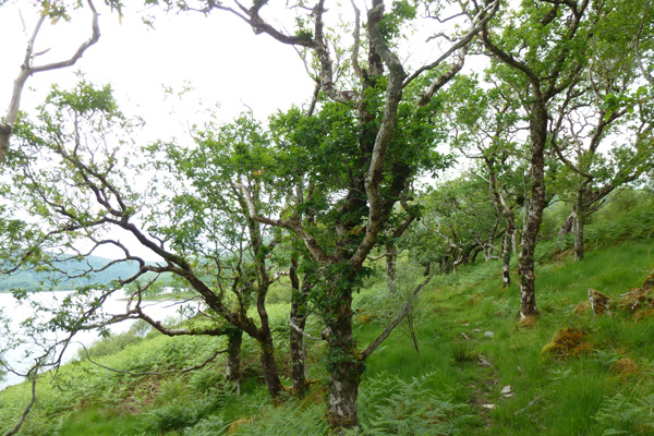 Atlantic Oak woodland on the banks of Loch Arienas