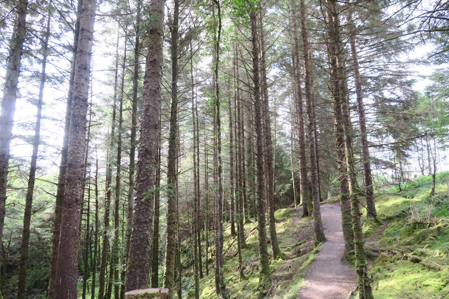 The path through the spruce plantation