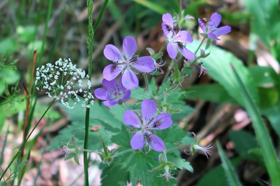 Pignut and cranesbill