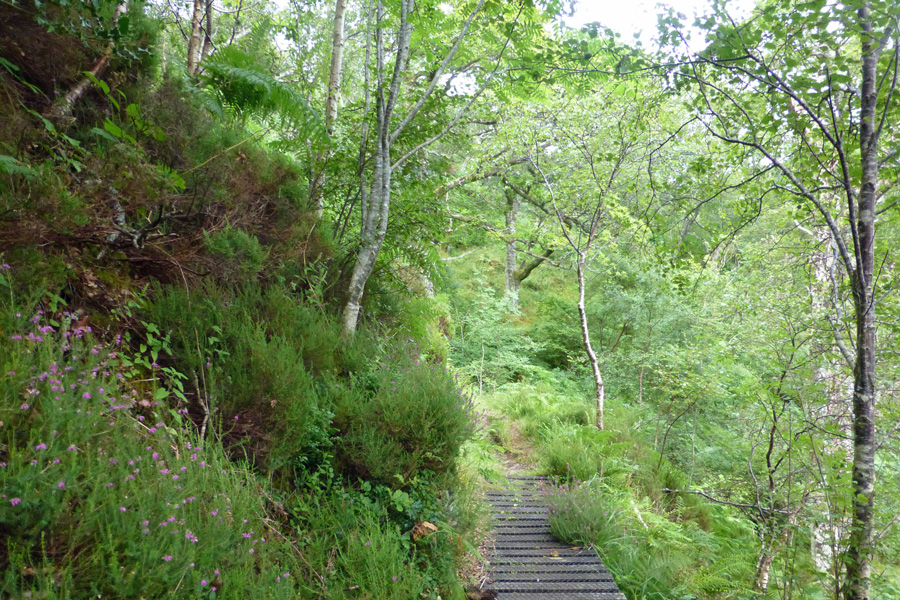 A short boardwalk on the Salen Oakwoods walk