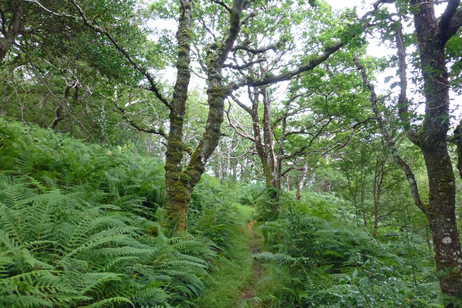 A rich ground flora of ferns in July on the Sunart Oakwoods walk