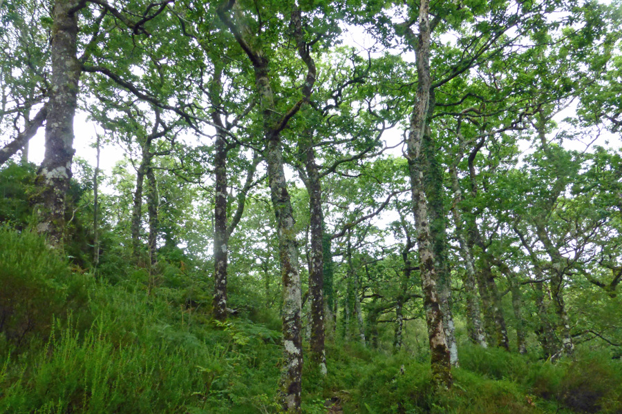 Magnificant Atlantic Oakwoods in July - take time to soak up the atmosphere