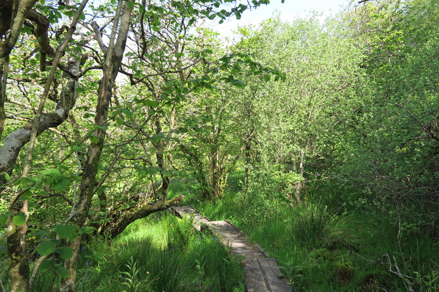 Boardwalk on the path through Shian Wood
