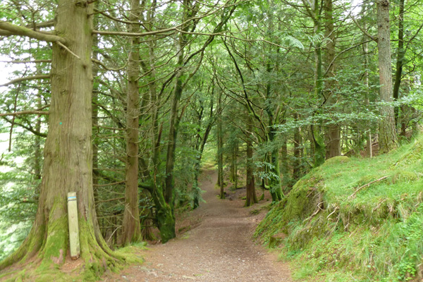 A lovely walk through coniferous woodland