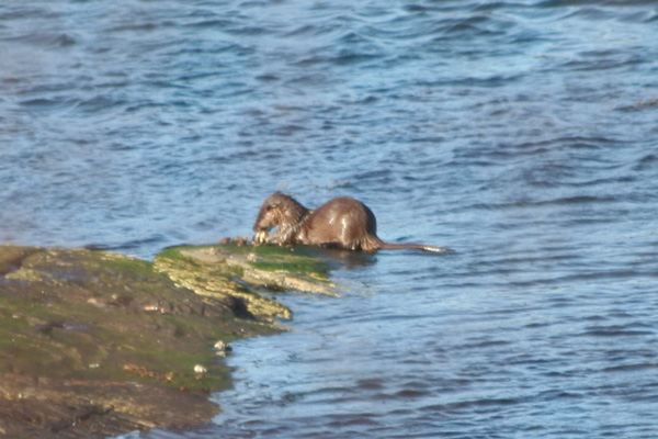 Otter seen from the Silver Walk