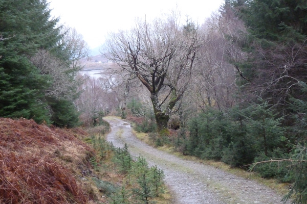 The track throught the coniferous plantation