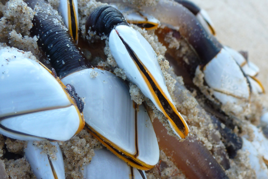 Goose barnacles seen on jetsam washed up after an autumn storm