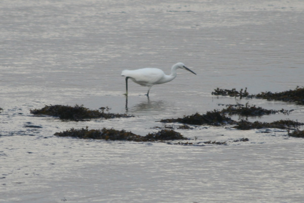 A Little Egret on the mud flats at Kentra Bay