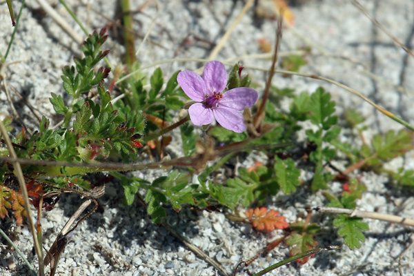 Common Stork's-bill. This lovely member of the Geranium family can be seen along coasts and dunes around Lochaber.