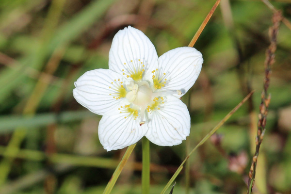 The grass of parnassus - a flower of cold beauty and a symbol of 'wilderness and wet'