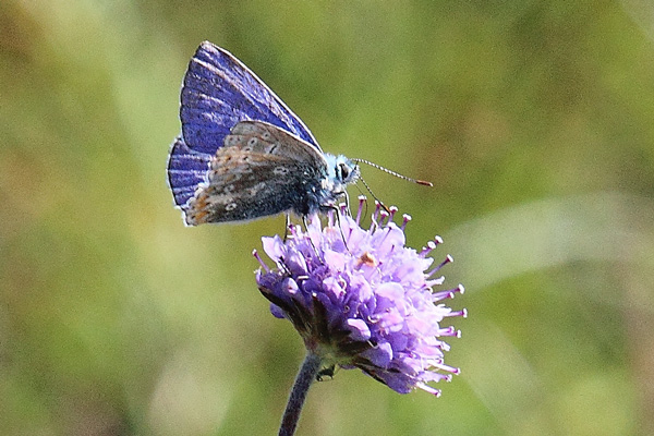 A male common blue butterfly sitting pretty on devil's-bit scabious