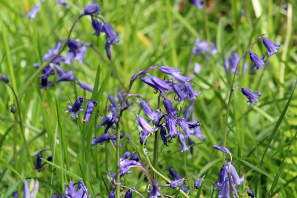 Bluebells in Sonachan wood in May