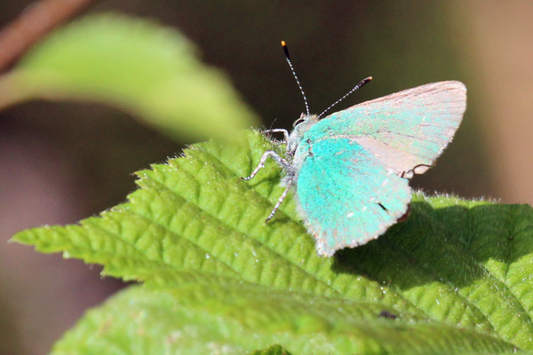 Green hairstreak butterfly in Sonachan woodland in May