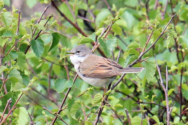 Whitethroat on the moorland above Sonachan