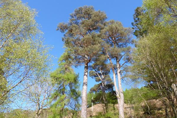 Fine Specimen Scots Pine