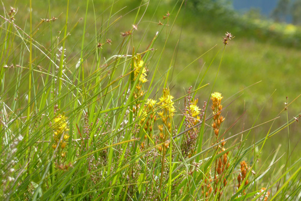 Bog Asphodel in late July