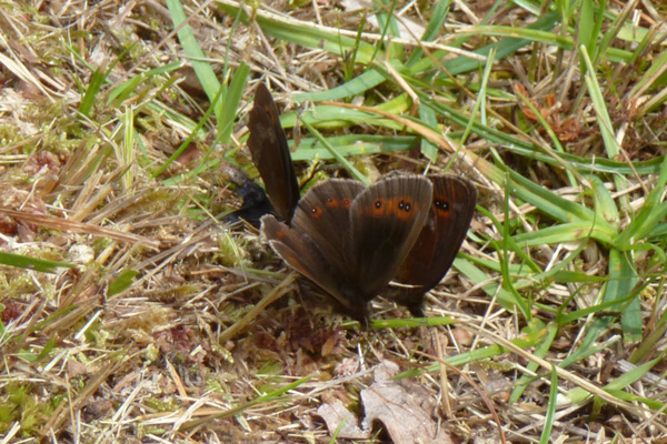 Scotch Argus butterflies in late July