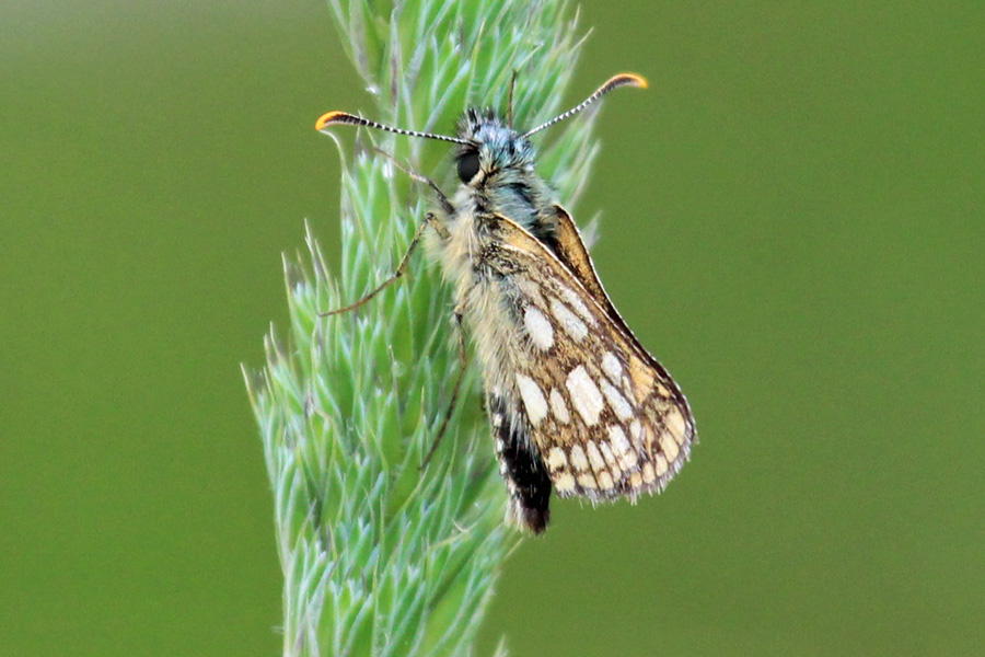 A chequered skipper butterfly on the path running through Ariundle Oakwoods