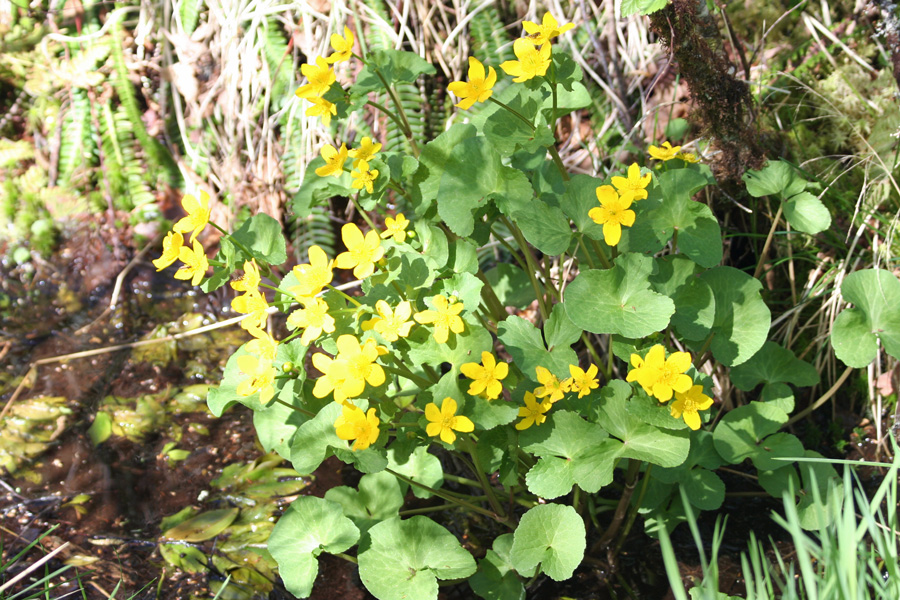 Marsh marigold on the sid eof the track through Ariundle Oakwoods