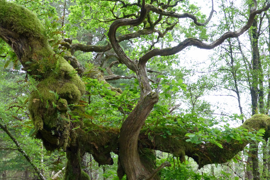 Epiphytic ferns on one of the old oak trees at Ariundle