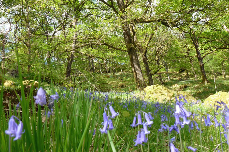 Bluebells at Ariundle