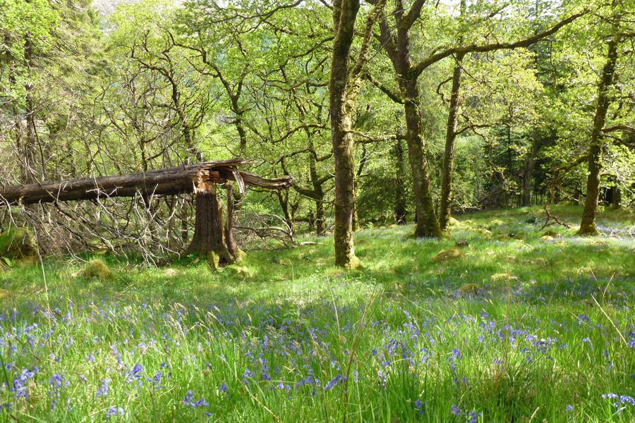 The woods are carpeted with bluebells in late spring