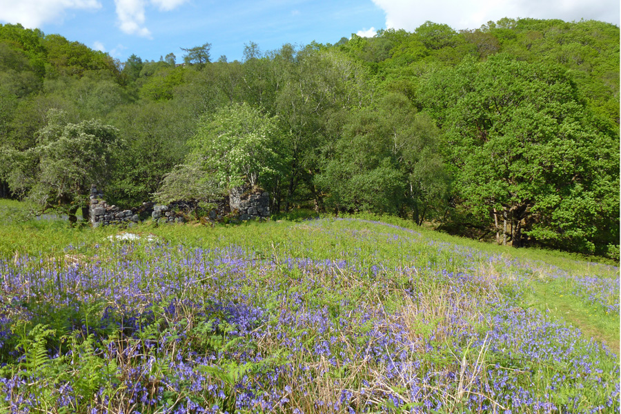 The bluebells by the old ruined house - a great place to look out for fritillaries