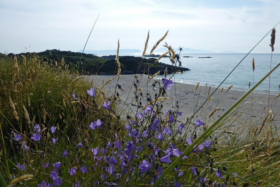 Harebells growing in the dunes behind Camusdarach beach