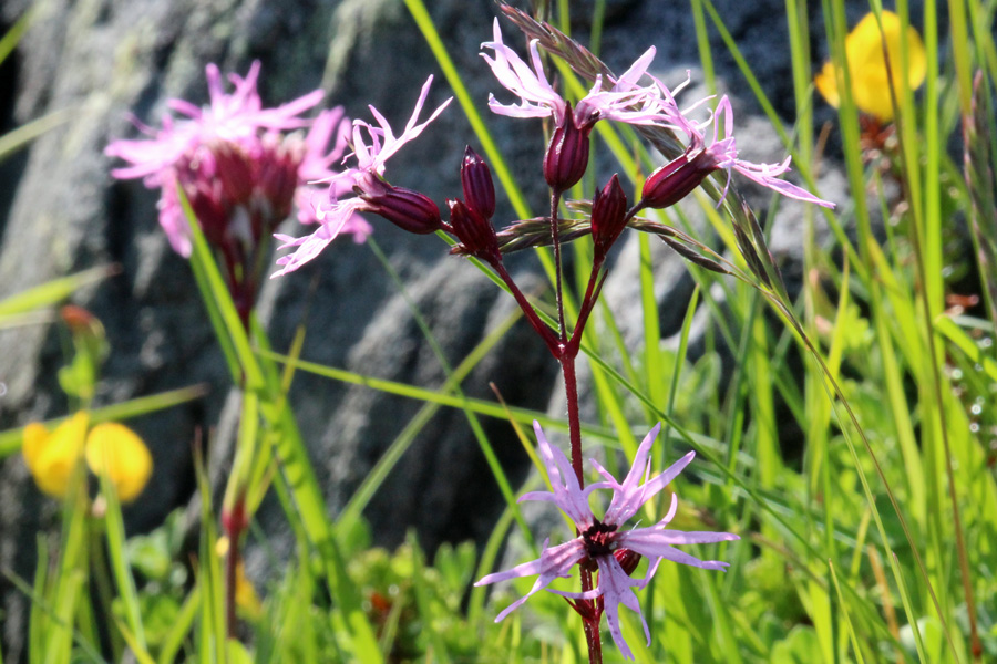 Ragged robin - a plant of marshy ground