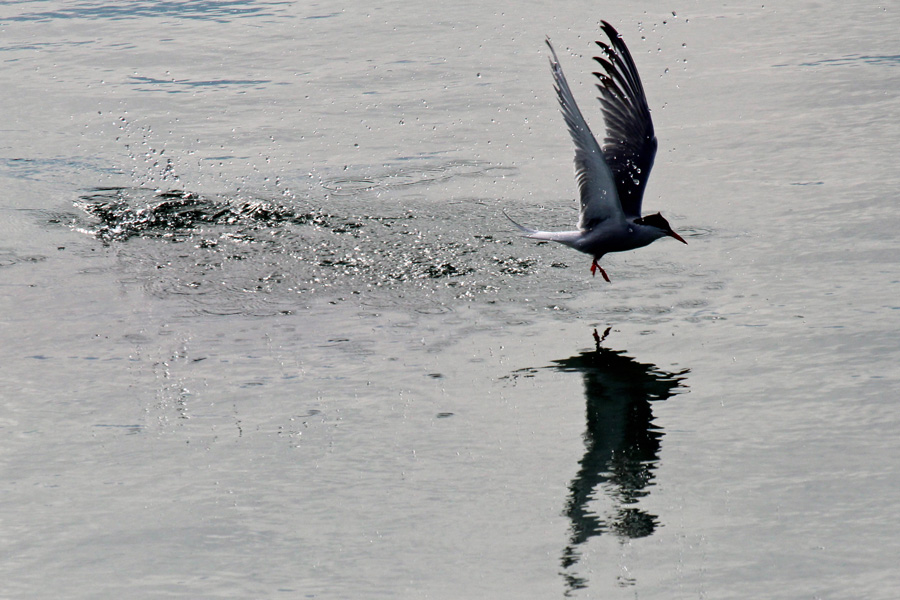 Common Tern taking off at Camusdarach
