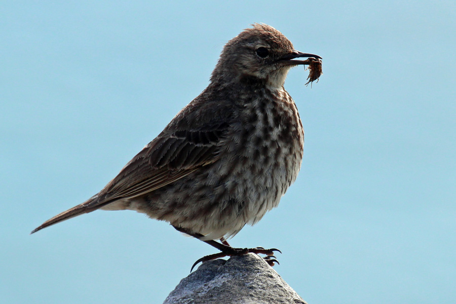 Rock pipit with a tasty snack