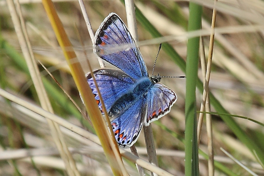 Female Common blue butterfly in the dunes at Camusdarach