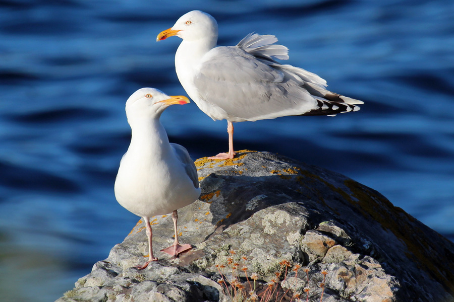 Herring gulls on the rocks