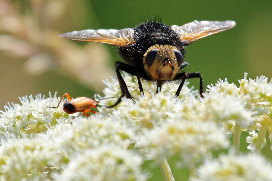 The Giant Tachnid fly - resembles a bumble bee in flight