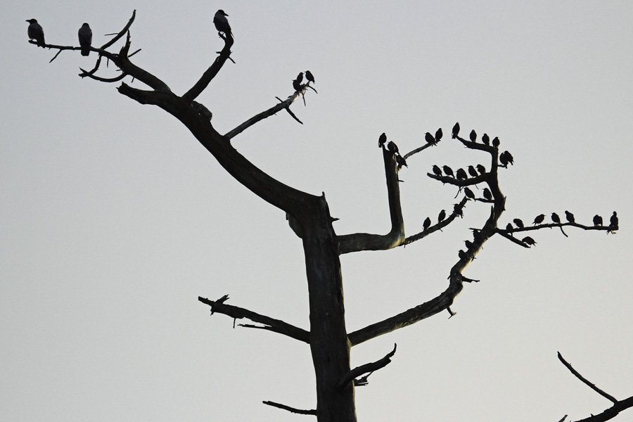 The balancing tree - hooded crows verses starlings