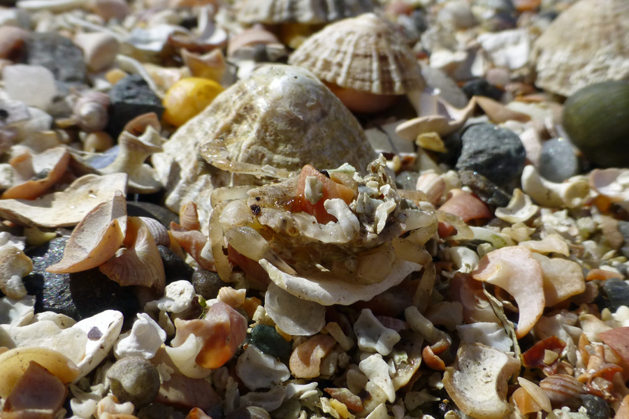 A crab amongst the shells