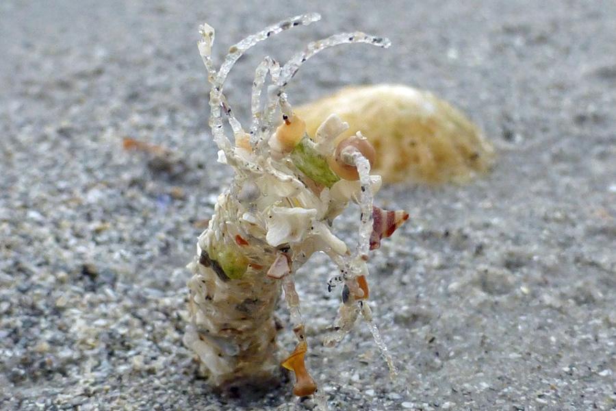 A sand mason worm