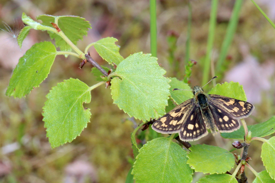 Chequered skipper butterfly seen on the path to Claish Moss