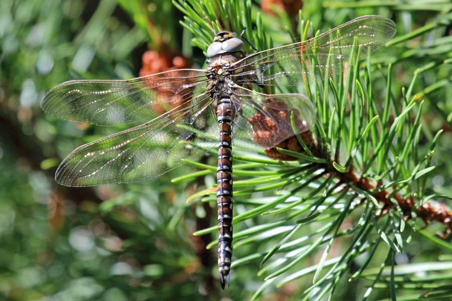 Common Hawker dragonfly