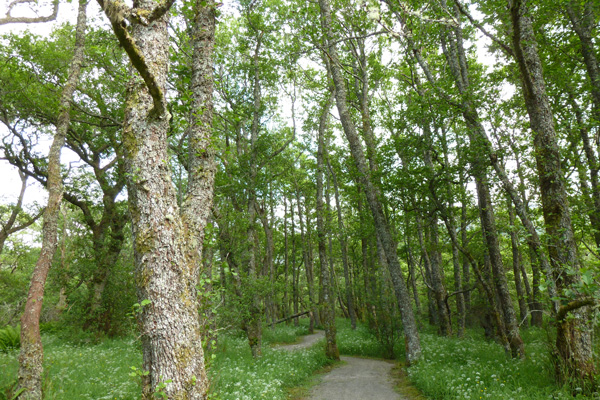 Ancient alder wood in Creag Meagaidh National Nature Reserve