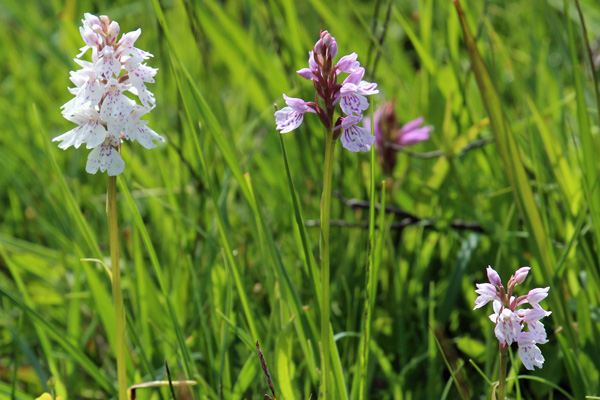 A profusion of heath spotted orchids at Cuil bay