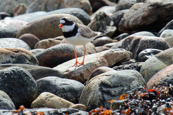 Ringed plover at Cuil Bay