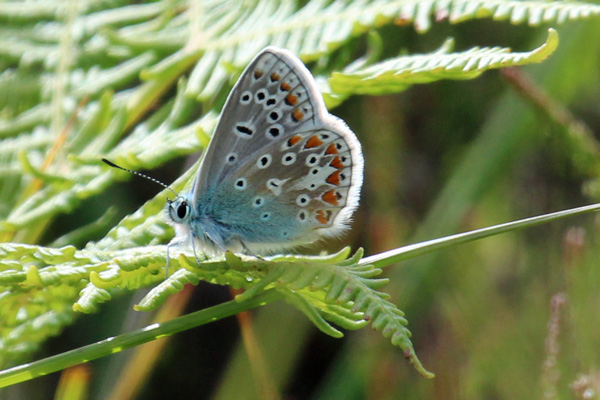 Common blue butterfly near Rubha Mor point